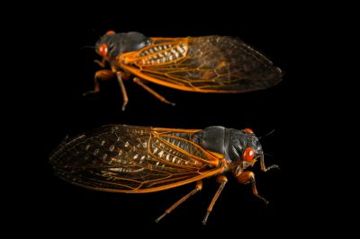 Photo: Decim periodical cicada, Magicicada septendecim, from Gretna, Nebraska.