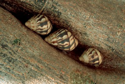 Photo: The endangered Stock Island tree snail in a housing development in Key Largo, Florida.