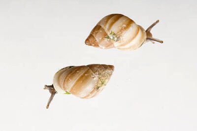 Partula snails (Partula nodosa) at the St. Louis Zoo's Monsanto Insectarium. Once found in French Polynesia, this species is now extinct in the wild.