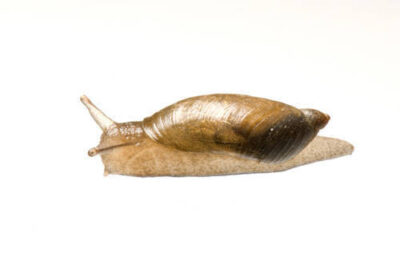 Amber snail (most likely the oval ambersnail, Succinea ovalis) Two Rivers State Recreation Area.
