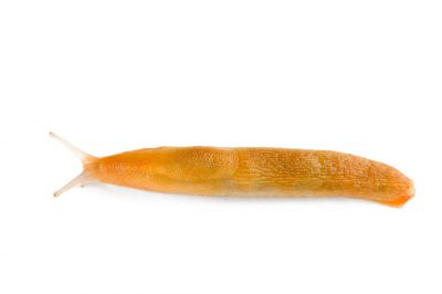 A slug caught from the wild.