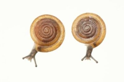 The federally endangered Iowa Pleistocene Snail (Discus macclintocki). This is a relict from the last ice age, some 400,000 years ago. It lives in cold air vents on 37 different hillsides in Iowa (and one in Illinois) and survives only in the cold air that blows past underground ice and out of the cracks in limestone cliffs.