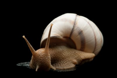 Banded tree snail (Orthalicus floridensis) from Crocodile Lake National Wildlife Refuge on Key Largo.
