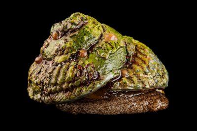 A red turban snail, Lithopoma gibberosa.