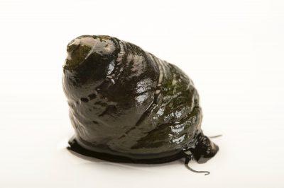 A black turban snail, Tegula funebralis.