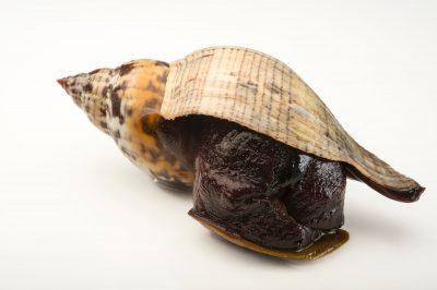 A true tulip snail, Fasciolaria tulipa.