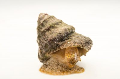 Picture of an astraea snail, Astraea tecta.
