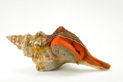 Picture of a Florida horse conch (Triplofusus giganteus) at the Columbus Zoo.