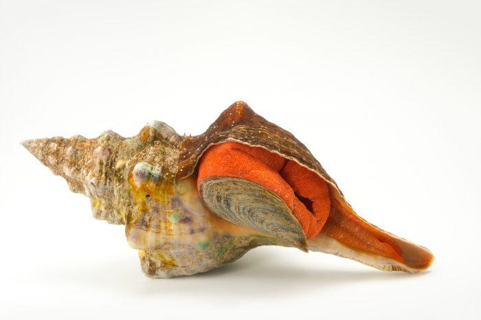 Picture of a Florida horse conch (Triplofusus giganteus) at the Columbus Zoo.