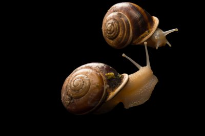 Picture of two chocolate-banded snails (Eobania vermiculata) at the Dallas Zoo.