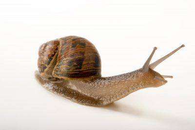 Picture of a common garden snail (Helix aspersa) at Healesville Sanctuary.