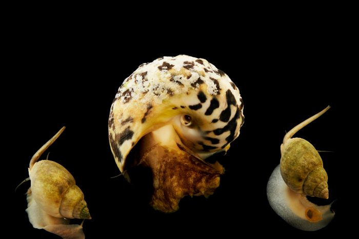 Picture of a large Mexican turbo snail (Turbo fluctuosus) and Nassarius snails (Nassarius distortus) at Pure Aquariums.