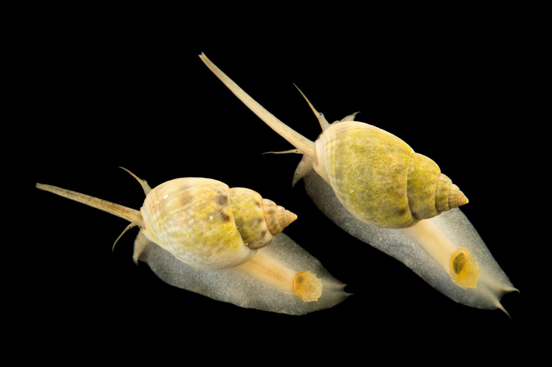 Picture of nassarius snails (Nassarius distortus) at Pure Aquariums.