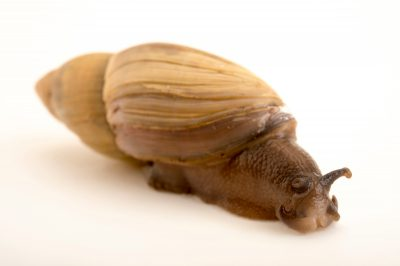 Picture of a rosy wolfsnail (Euglandina rosea) at the Central Florida Zoo.