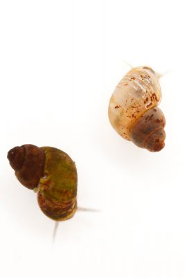 Photo: Two Page Springsnails (Pyrgulopsis morrisoni) at the Phoenix Zoo.