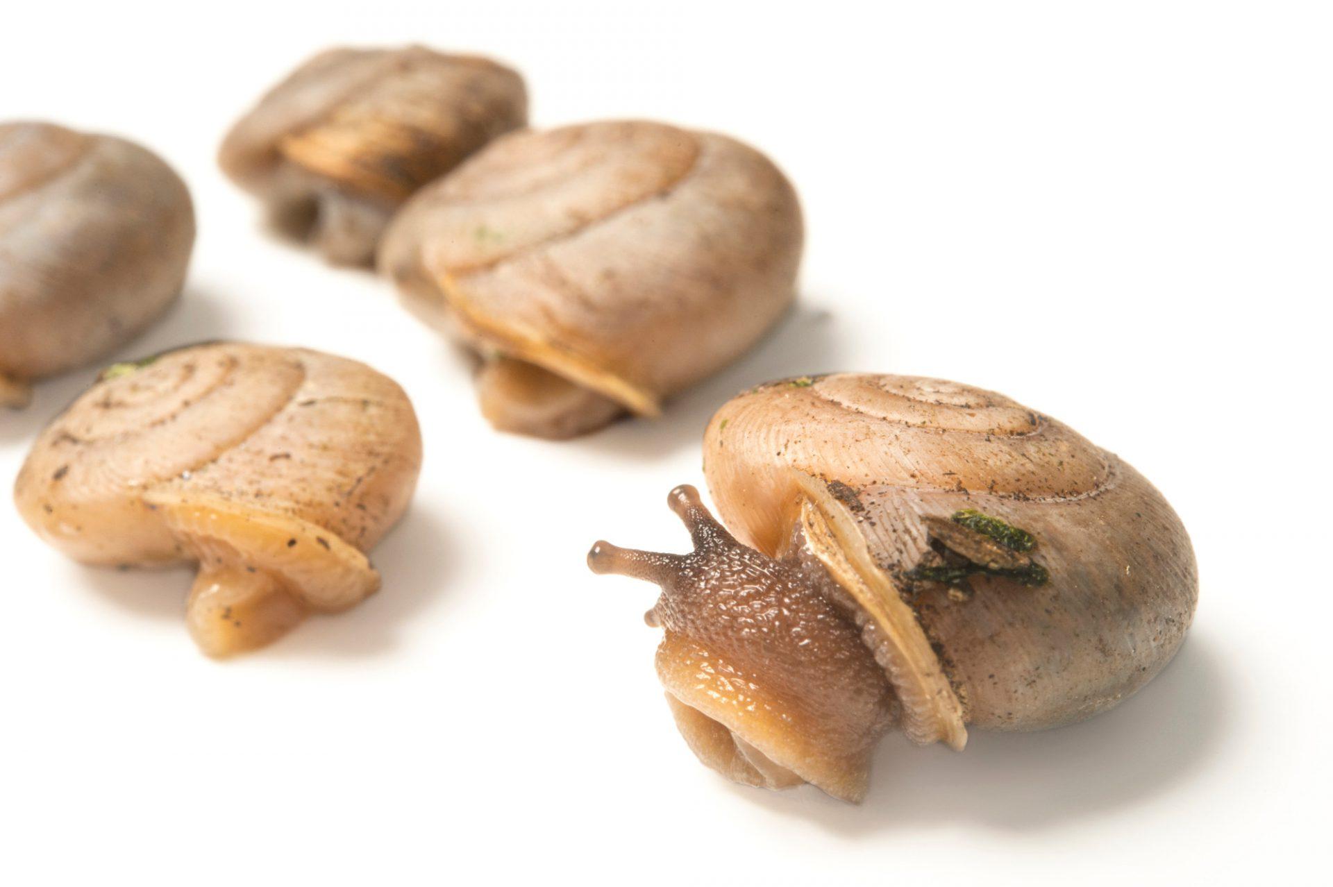 Photo: Garden snail (Cepaea) at the St. Louis Zoo.