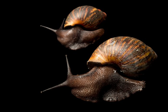 Photo: Giant African land snail (Achatina sp) run by ONG Animal's World in Libreville, Gabon.