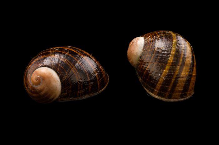 Photo: Madagascar land snails (Helicophanta bicingulata) at the Plzen Zoo in the Czech Republic.
