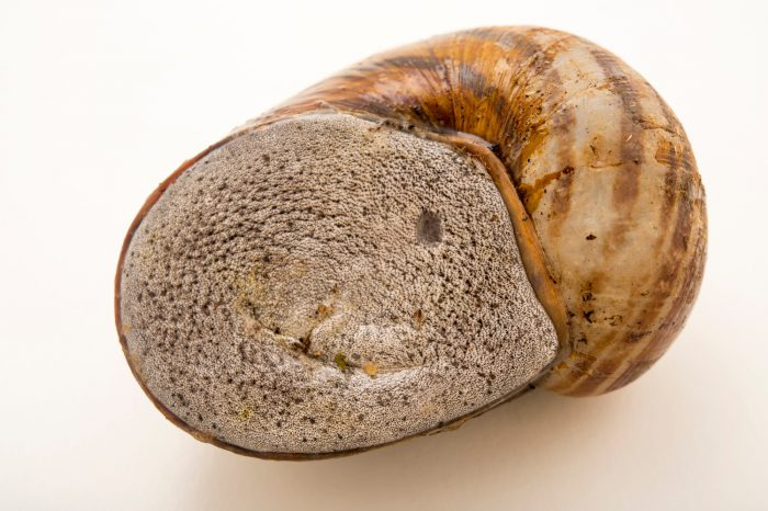 Photo: Madagascar land snail (Helicophanta bicingulata) at the Plzen Zoo in the Czech Republic.