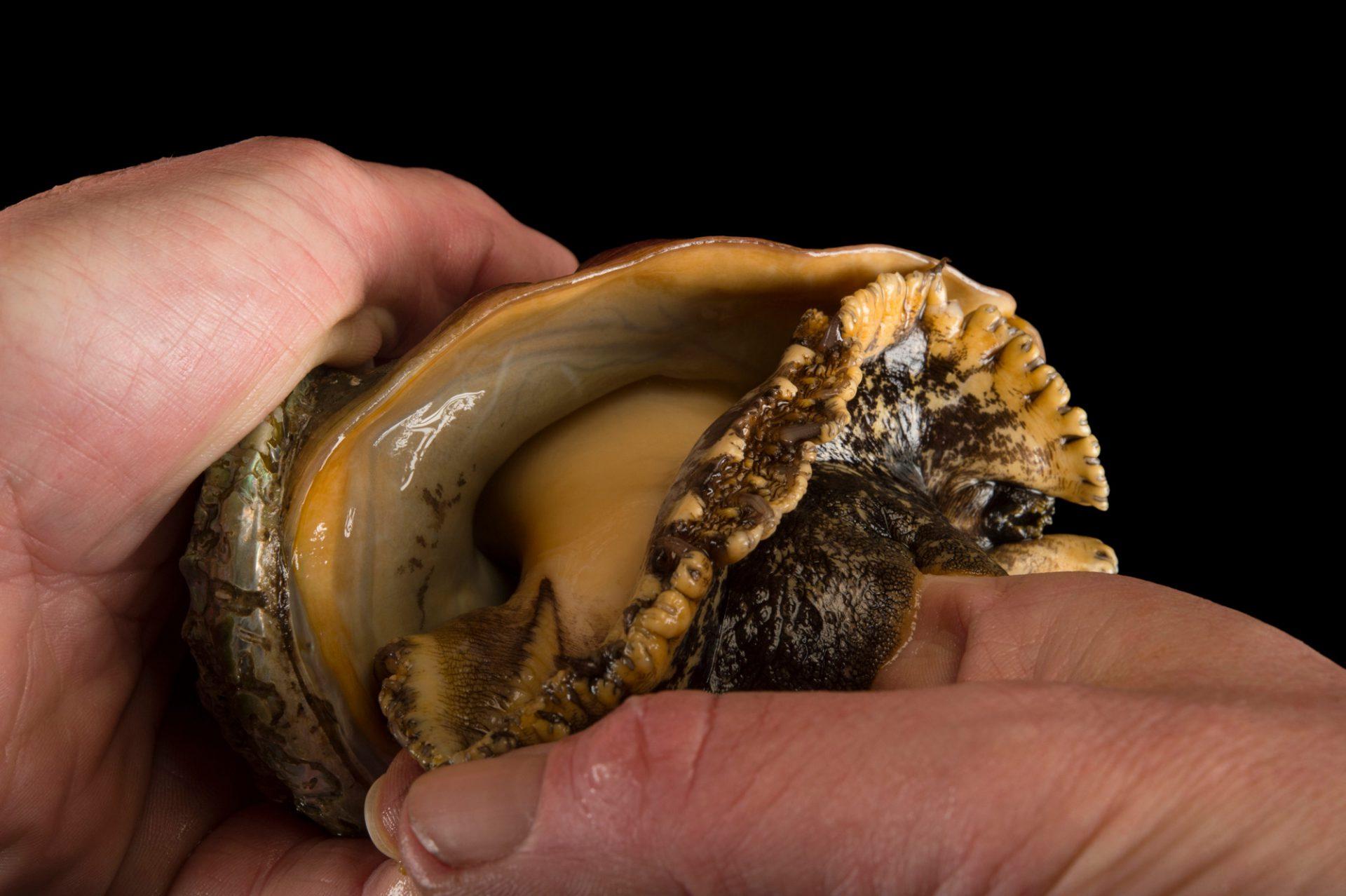 Photo: Pinto abalone (Haliotis kamtschatkana) coming out of shell at Alutiiq Pride Shellfish Hatchery in Seward, AK.