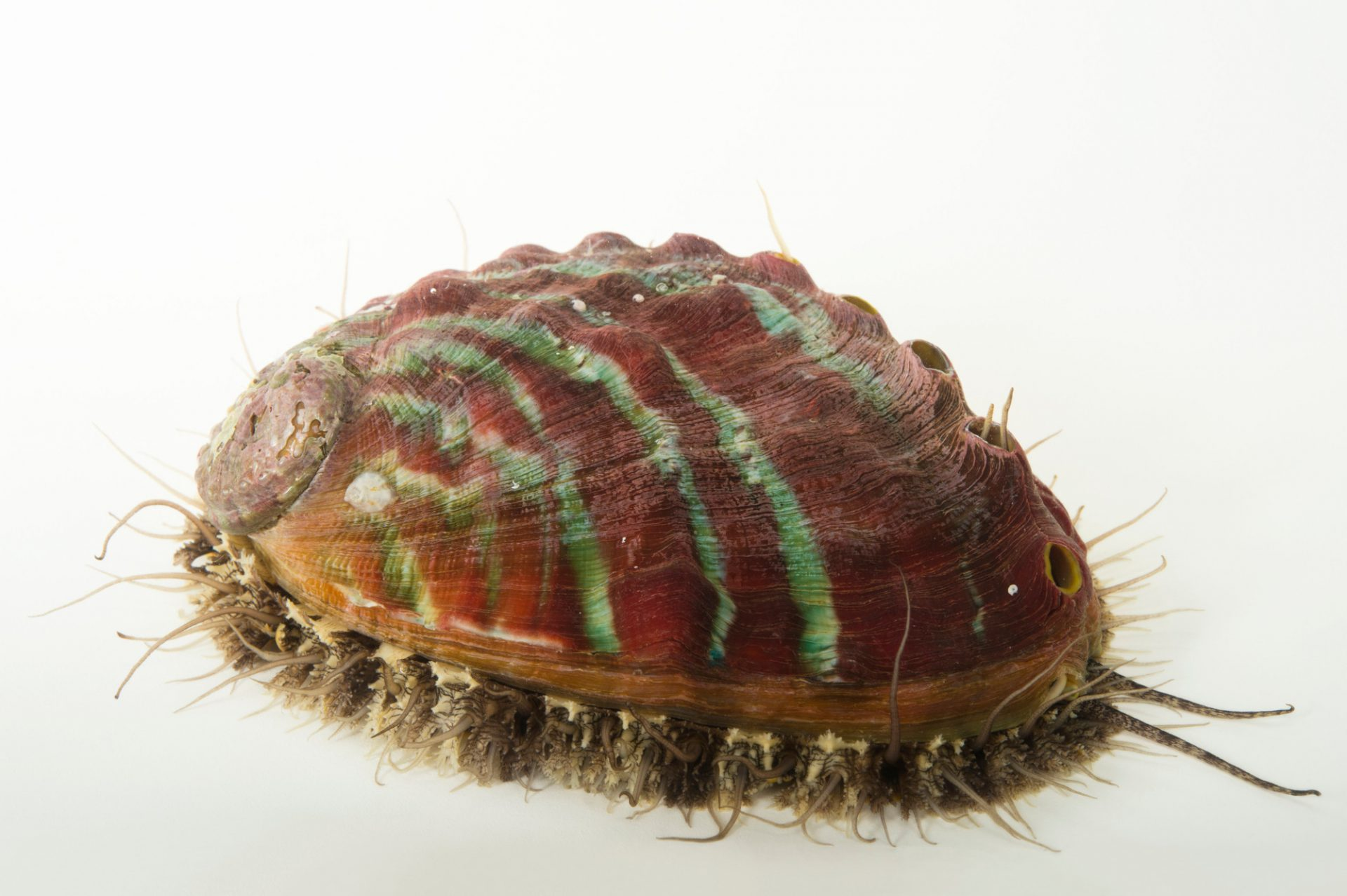 Photo: Pinto abalone (Haliotis kamtschatkana) at Alutiiq Pride Shellfish Hatchery in Seward, AK.