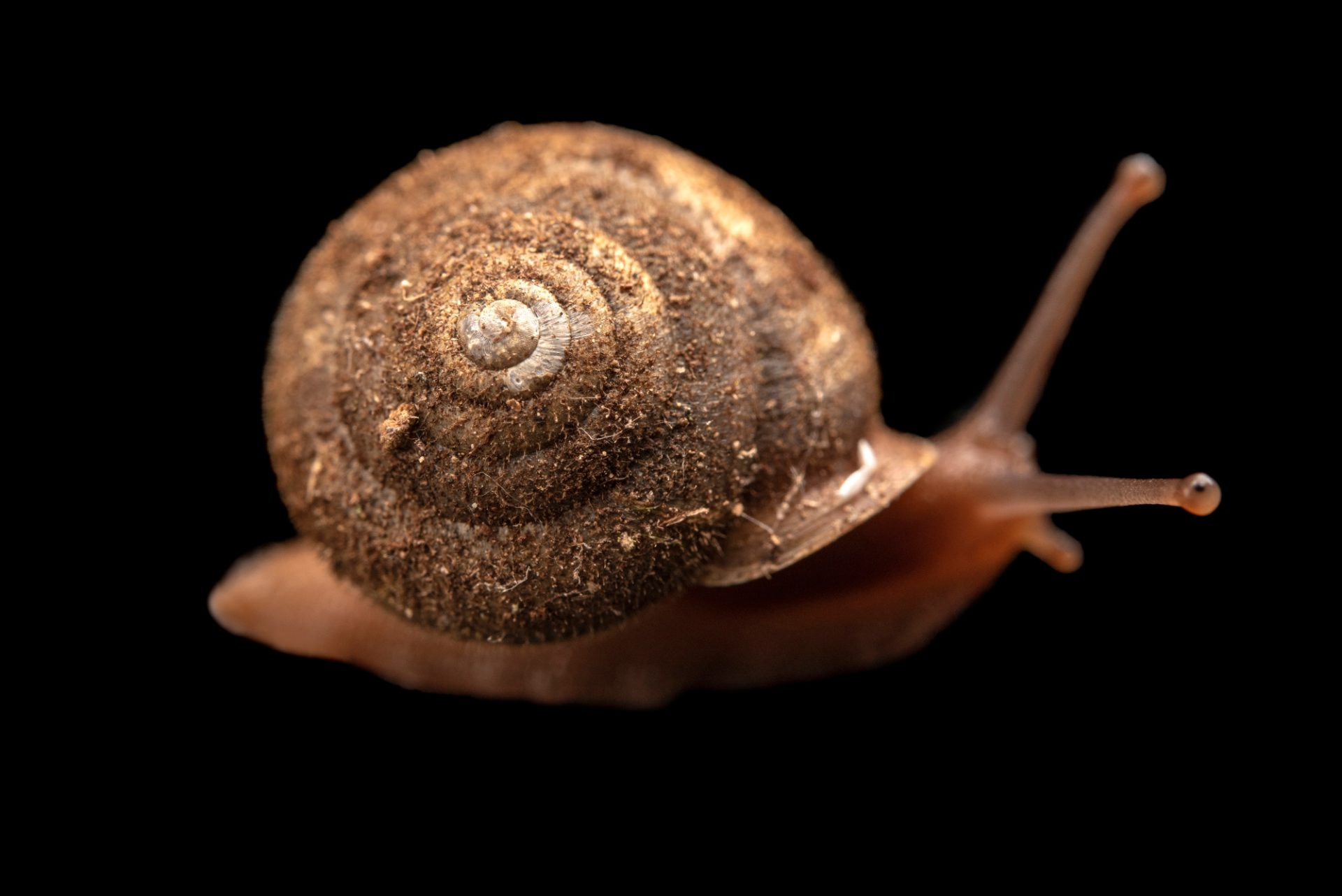 Photo: A Northwest hesperian snail, Vespericola columbianus, at A Rocha Brooksdale Environmental Center in Surrey, BC.