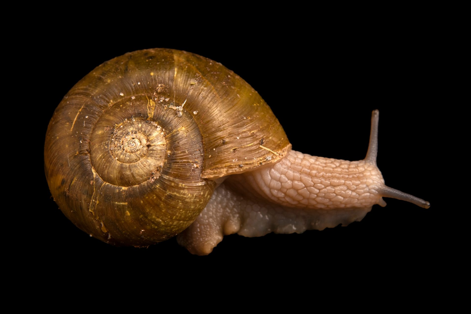 Photo: A robust lancetooth snail, Haplotrema vancouverense, at A Rocha Brooksdale Environmental Center in Surrey, BC.