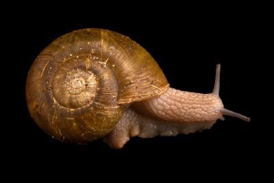 Photo: A robust lancetooth snail, Haplotrema vancouverense, at A Rocha Brooksdale Environmental Center in Surrey, BC.