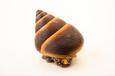 Photo: Cape Tribulation tree snail (Noctepuna mayana) from the Melbourne Museum