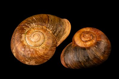Photo: Giant Flat shell Snail (Pedinogyra sp.) from the Melbourne Museum