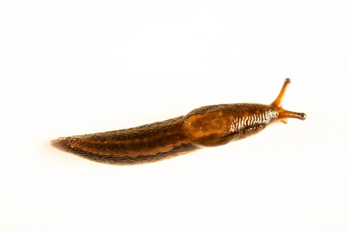 Photo: Garden slug (Arion hortensis) wild caught in Boise, Idaho