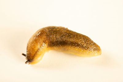 Photo: Dusky slug (Arion subfuscus) wild caught in Boise, Idaho