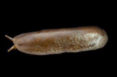 Photo: An unidentified gastropod from the wild in Cameroon.