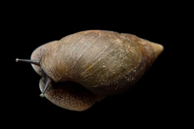 Photo: An unidentified snail from the wild in Cameroon.