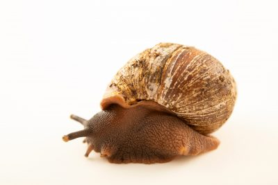 Photo: West African giant land snail (Archachatina ventricosa) at the Toronto Zoo.