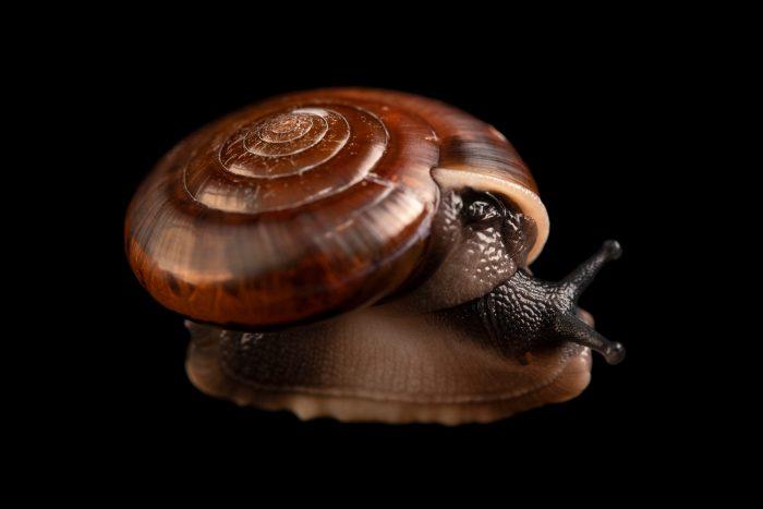 Photo: The blinking snail (Quantula striata) at the Singapore Zoo.