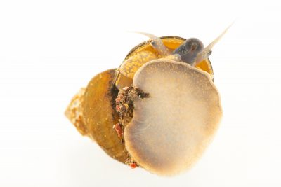 Photo: Japanese trap door snail (Bellamya chinensis) from a private collection.