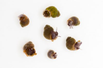 Photo: A group of Three Forks springsnails (Pyrgulopsis trivialis) at the Phoenix Zoo. This species is listed as critically endangered on the IUCN Red List.