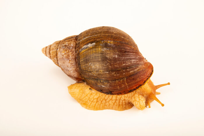 Photo: An African snail (Achatina zanzibarica) at Aquarium Berlin.