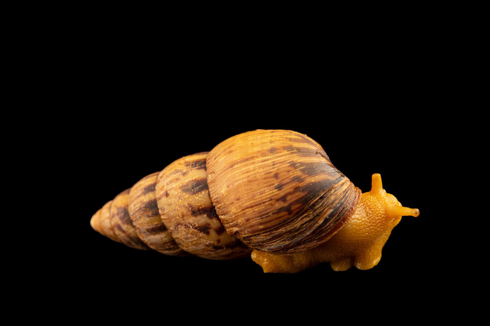 Photo: A Cameroon dark stripe snail (Limicolaria numidica) at Aquarium Berlin.