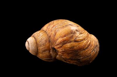 Photo: A giant West African snail (Archachatina marginata ovum) at Aquarium Berlin.
