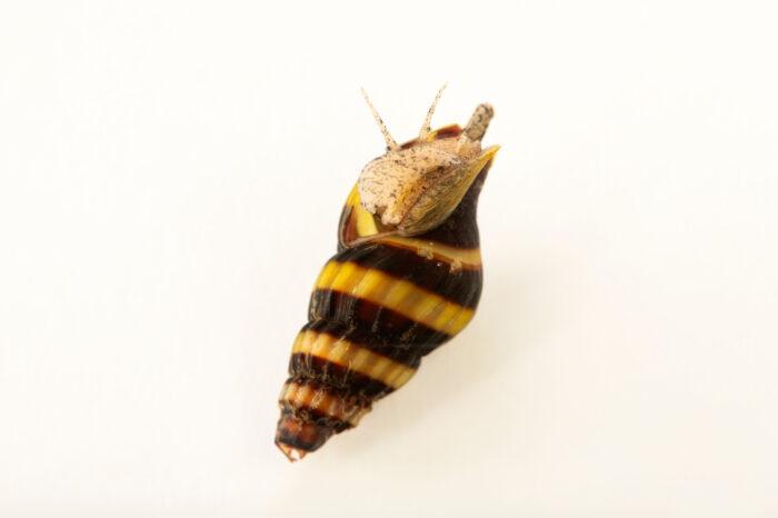 Photo: A predatory snail (Clea helena) at Aquarium Berlin.
