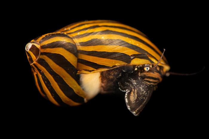 Photo: An orange track snail (Neritina turrita) at Aquarium Berlin.