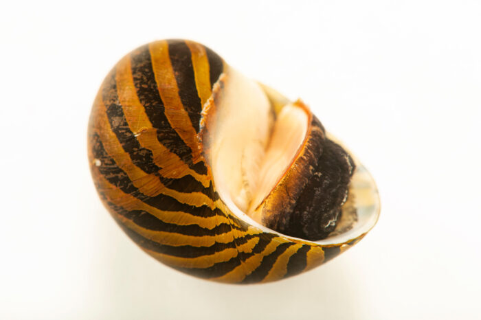 Photo: An orange track snail (Neritina turrita) at Aquarium Berlin.