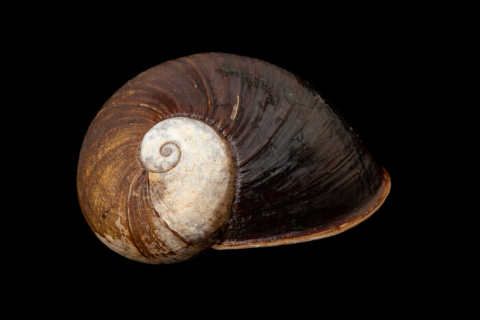 Photo: A land snail (Helicophantha iroborae) photographed at Zoo Plzen.