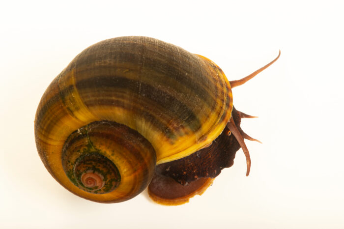 Photo: A Florida applesnail (Pomacea paludosa) at Gulf Specimen Aquarium in Panacea, FL. This species is in decline due to being out-competed by introduced, invasive snails from other countries.