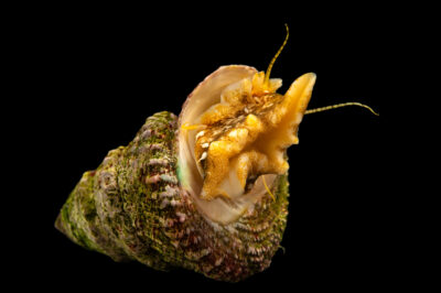 Photo: A wavy turban snail (Megastraea undosa) at the Butterfly Pavilion.