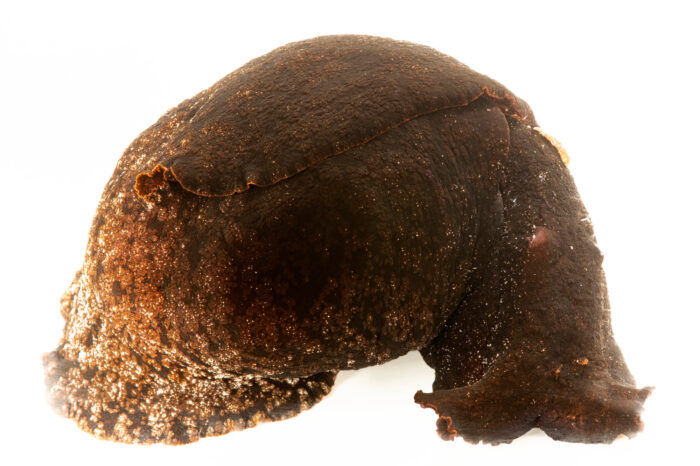 Photo: A black sea hare (Aplysia vaccaria) at the Butterfly Pavilion.