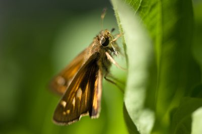 Photo: A Sachem skipper butterfly rests on a bright green leaf.