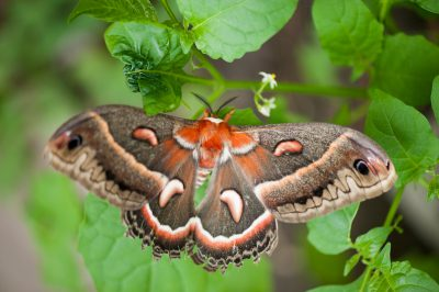 Photo: A cecropia moth (Hyalaophora cecropia).